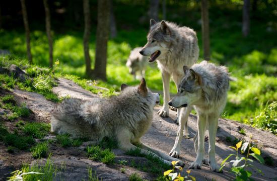 To tredjedele af Norges ulve skal slagtes